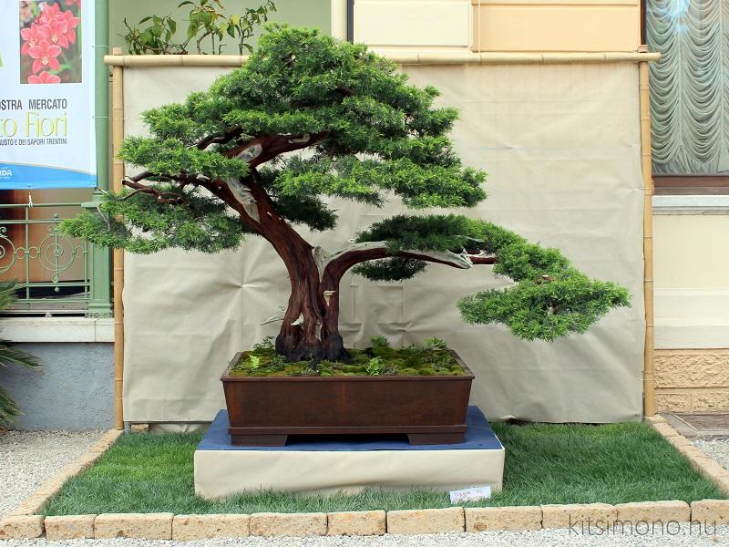 arco bonsai exhibition kiallitas italy kitsimono (53)