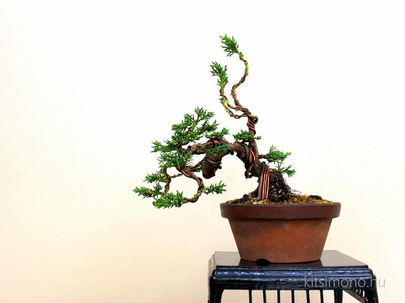 juniperus chinensis kishu shohin pre bonsai kitsimono