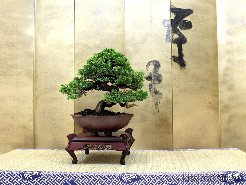 Juniperus chinensis Itoigawa bonsai display plan kitsimono