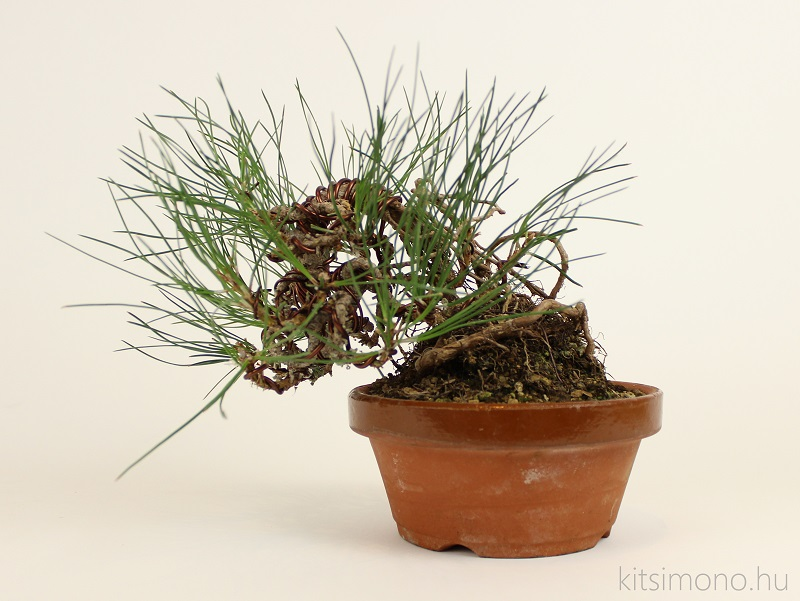 black pine pinus nigra pre bonsai shohin training and training pot kitsimono (2)