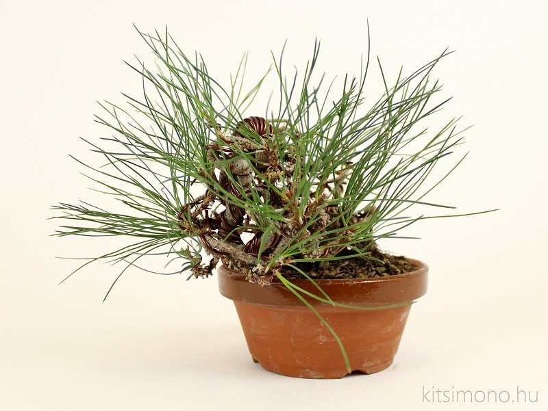 black pine pinus nigra pre bonsai shohin training and training pot kitsimono (3)