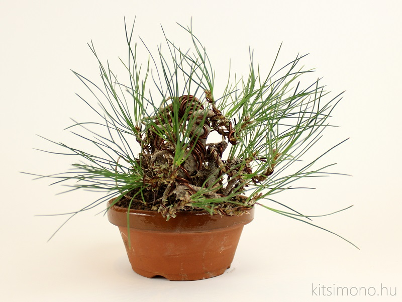 black pine pinus nigra pre bonsai shohin training and training pot kitsimono (4)