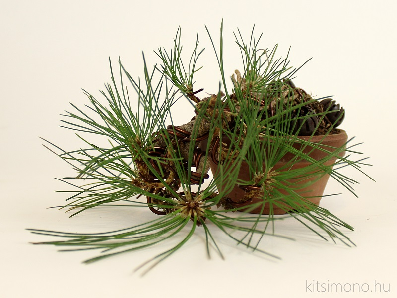 black pine pinus nigra pre bonsai shohin training and training pot kitsimono (6)