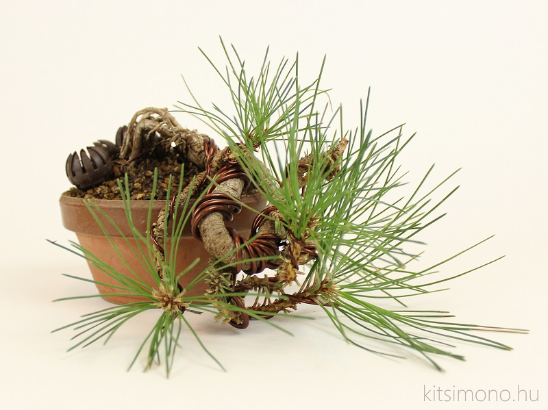 black pine pinus nigra pre bonsai shohin training and training pot kitsimono (8)