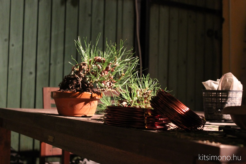 black pine shohin bonsai first steps styling kitsimono (1)