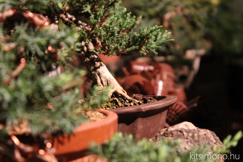 black pine shohin bonsai first steps styling kitsimono (5)