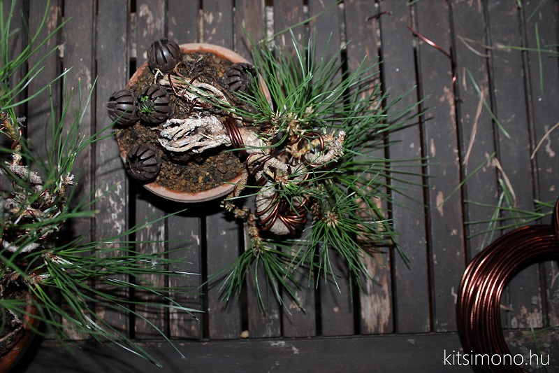 black pine shohin bonsai first steps styling kitsimono (6)