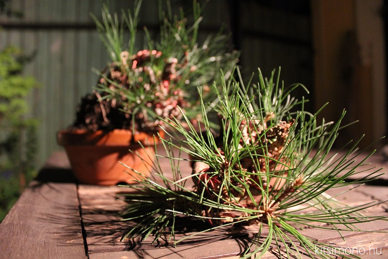 black pine shohin bonsai first steps styling kitsimono (7)