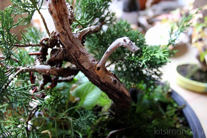 boroka tarkadiszbogar kartevo visszaszarado boroka juniperus bonsai kitsimono (1)