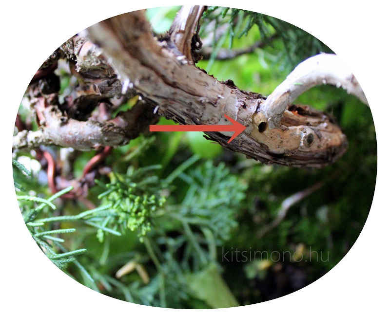 boroka tarkadiszbogar kartevo visszaszarado boroka juniperus bonsai kitsimono (2)
