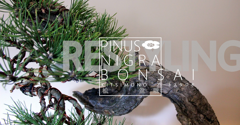 bonsai restyling pinus nigra bonsai fenyo european black pine matsu kitsimono (3)