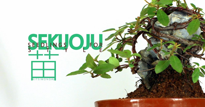 sekijoju shohin bonsai (1)