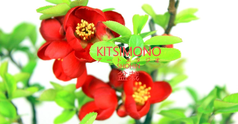 shohin chaenomeles pre bonsai praktik kitsimono (3)