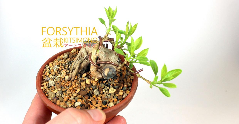 shohin forsythia pre bonsai praktik kitsimono (2)
