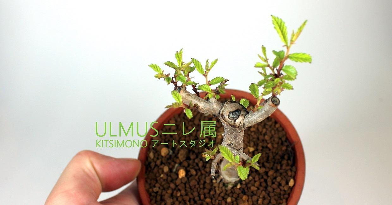 shohin ulmus nire pre bonsai praktik kitsimono (1)