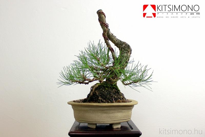 pinus nigra matsu european black pine bonsai kitsimono (2)