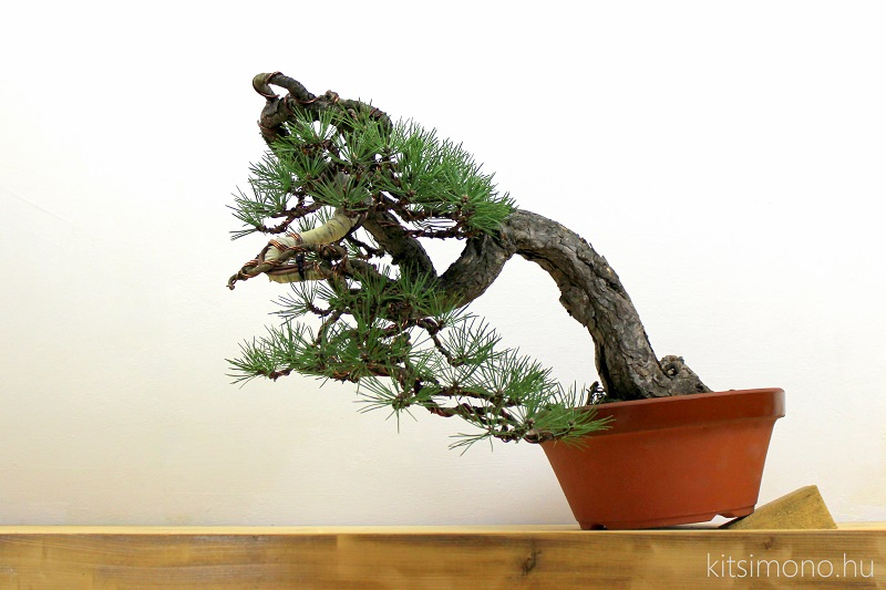 pinus bonsai ballet and styling kitsimono art studio (1)