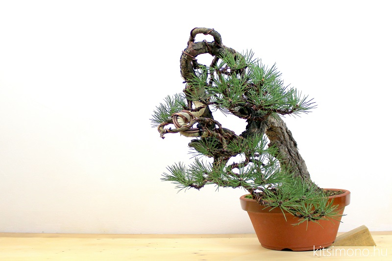 pinus bonsai ballet and styling kitsimono art studio (3)