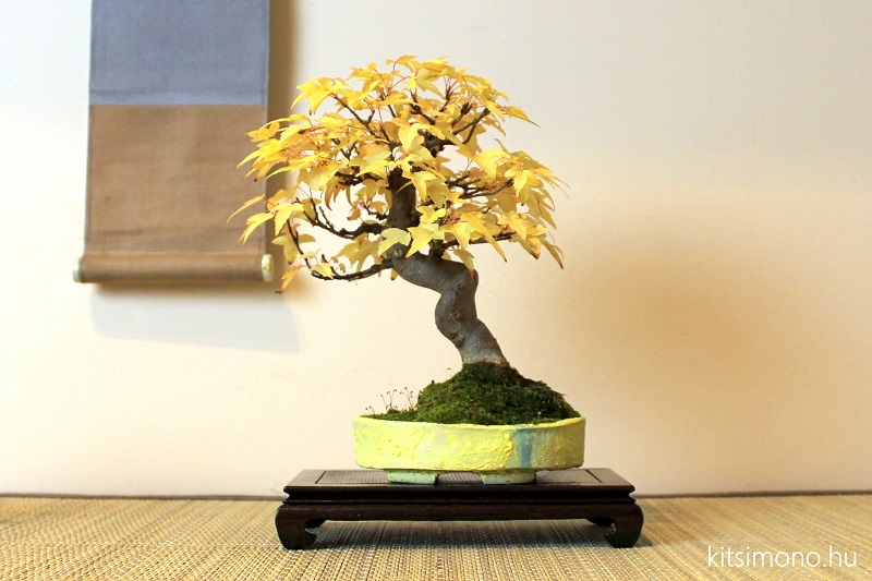acer buergerianum bonsai shohin autumn display of kaede (4)