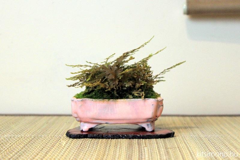 acer buergerianum bonsai shohin autumn display of kaede (5)