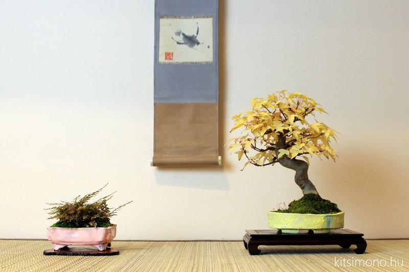 acer buergerianum bonsai shohin autumn display of kaede (7)